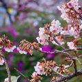 熱海桜祭り 12日からスタート!